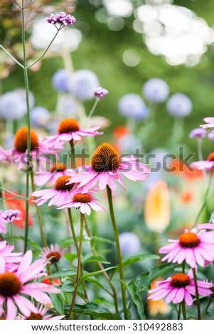Beautiful echinacea flowers in Kew Gardens, London - stock photo
