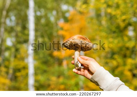 Beautiful edible mushroom (Leccinum) in hand on a background of foliage in autumn - stock photo