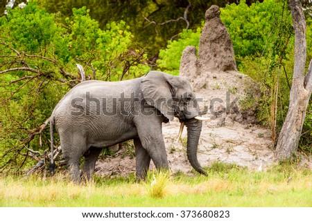 Beautiful Elephant in the Moremi Game Reserve (Okavango River Delta), National Park, Botswana - stock photo