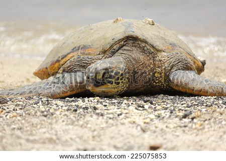 Beautiful endangered green sea turtle resting on the beach in Hawai'i - stock photo