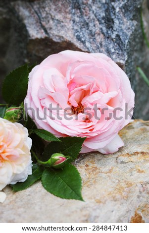 Beautiful English rose lies on a stone in the garden - stock photo