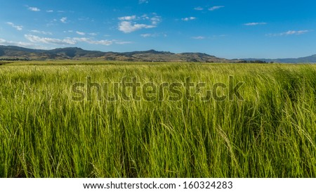 Beautiful Eragrostis tef, field native to the northern Ethiopian highlands, in a typical rural farmland of Ethiopia - stock photo