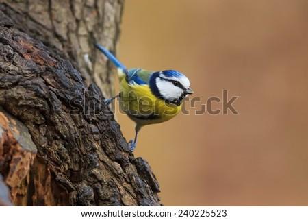 beautiful Eurasian blue tit - stock photo