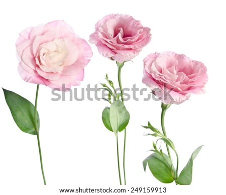 beautiful eustoma flower  - stock photo