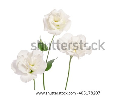 Beautiful eustoma flowers isolated on white background and free space for text from the side - stock photo