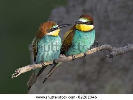 Beautiful exotic bird couple (bee-eater) - stock photo