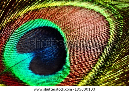 Beautiful exotic peacock feathers.feathers  - stock photo