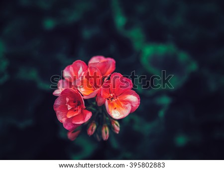 Beautiful fairy dreamy magic pink red flowers with dark green leaves, toned with instagram filters in retro vintage color, soft selective focus, blurry background, copyspace for text - stock photo