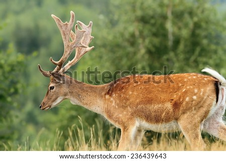 beautiful fallow deer buck ( Dama ) crossing a glade - stock photo