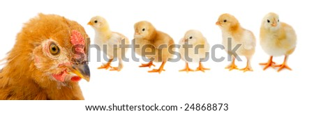 Beautiful family consisting of mother hen and her five chicks on white background - stock photo