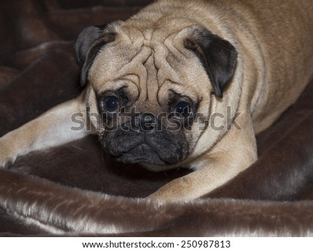 Beautiful fawn Pug puppy looking at the camera. Front view. Dog portrait - stock photo