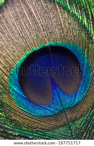 Beautiful feather of a peacock close up. - stock photo