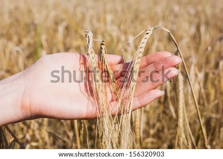 Beautiful female hand holding ripe ears of barley - stock photo