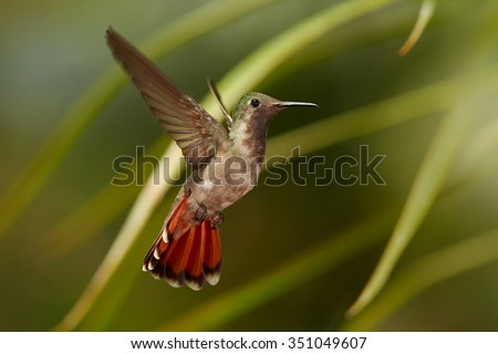 Beautiful female of golden-orange throated hummingbird Ruby-Topaz Hummingbird Chrysolampis mosquitus hovering over red flowers. Blurred orange and green background with nice bokeh - stock photo