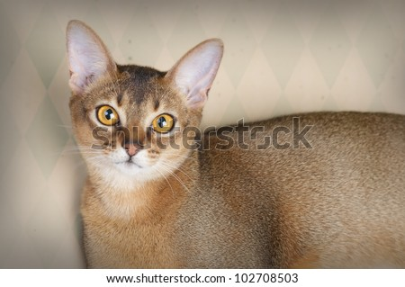 Beautiful female Ruddy Abyssinian cat in studio - stock photo