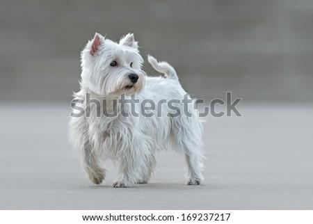 Beautiful female west highland terrier posing - stock photo