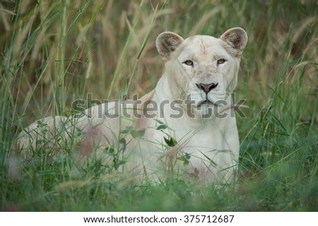 Beautiful female white lion lying in grass field - stock photo