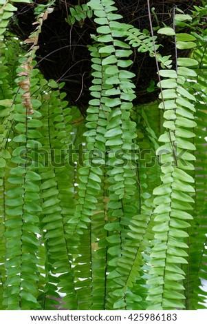 Beautiful Fern leave background - stock photo