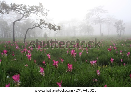 beautiful field of flower anong the mist in the morning , Curcuma alismatifolia or Siam tulip or Summer tulip in the garden nature Thailand  - stock photo