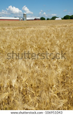 Beautiful field of ripe barley - stock photo