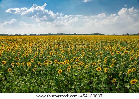 beautiful field of sunflowers in summer - stock photo