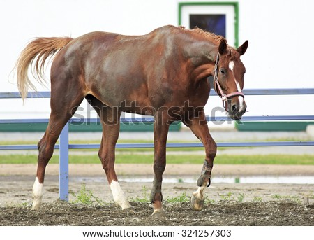 Beautiful filly Trakehner breed in the feedlot paddock horses  - stock photo