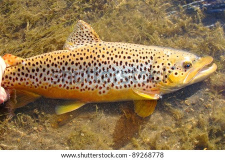 Beautiful fish - Brown Trout caught fly fishing - stock photo