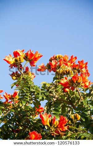 beautiful Flamboyant tree (Royal Poinciana or Delonix regia ) is a species of flowering plant from the Fabaceae family, Caesalpinioideae subfamilia - stock photo