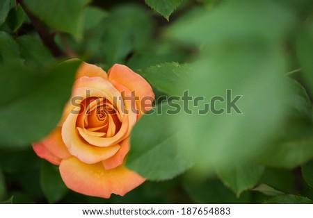 Beautiful flame red orange rose hidden between green leaves - stock photo