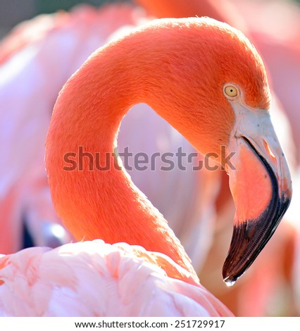 Beautiful Flamingo bird portrait - stock photo