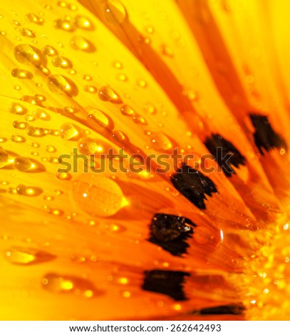 Beautiful floral background, abstract natural wallpaper, bright yellow Gerber flower with dew drops on the petals, beauty of spring season - stock photo
