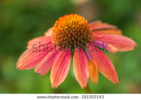 Beautiful flower Echinacea - stock photo