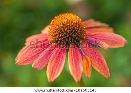 Beautiful flower Echinacea - stock photo