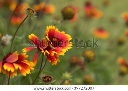 Beautiful flower field background - stock photo