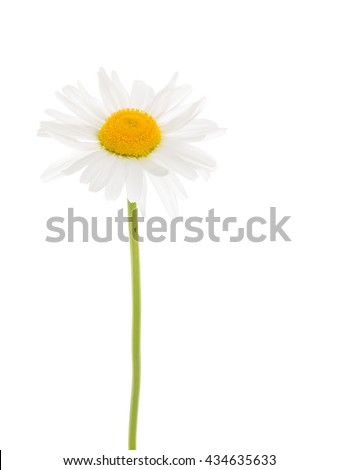 Beautiful flower field daisy with white petals and a delicate bright yellow center on a thin green stalk on a white background isolation - stock photo