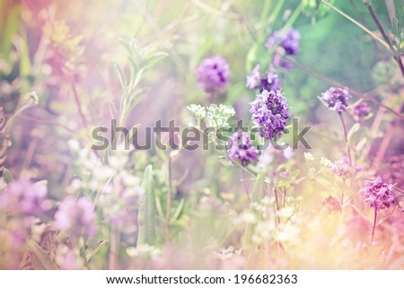 Beautiful flower of thyme (wild thyme) - stock photo