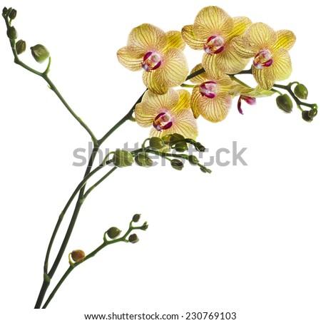 Beautiful flower Orchid, phalaenopsis  isolated on white background - stock photo