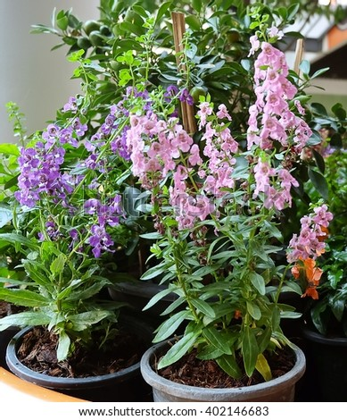 Beautiful Flower, Pink and Purple Sage Flowers or Salvia Flowerd with Green Leaves in Flower Pots. - stock photo