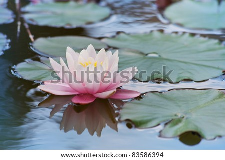 Beautiful flower pink water lily with green leaves - stock photo
