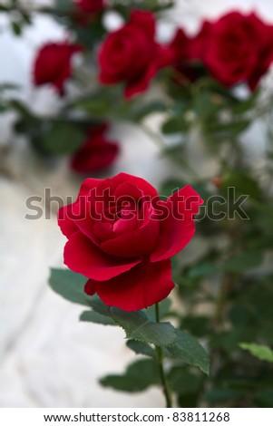 beautiful flower rose. closeup - stock photo