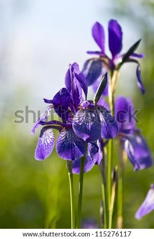 beautiful flower two-colored iris - stock photo