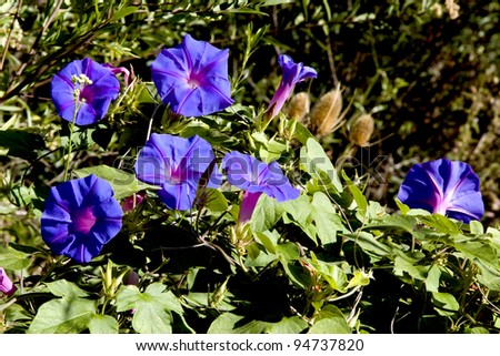 beautiful flower whose scientific name is Ipomoea purpurea - stock photo