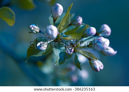 Beautiful flowering apple trees. background with blooming flowers in spring day. - stock photo