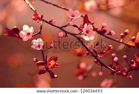 Beautiful flowering Japanese cherry - Sakura. Background with flowers on a spring day. Red-soft version. - stock photo