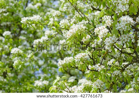 Beautiful flowering pear trees. Background with blooming flowers in spring day. - stock photo