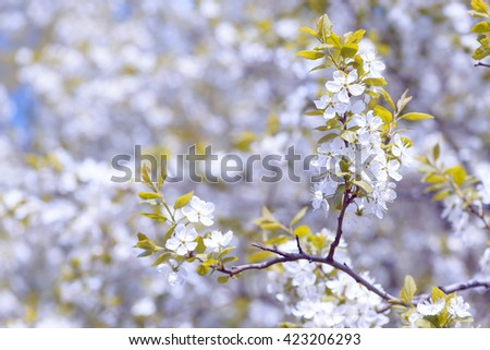 Beautiful flowering plum trees. Background with blooming flowers in spring day. - stock photo