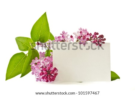 beautiful flowers blooming lilac on a white background - stock photo