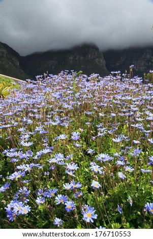 Beautiful Flowers in Kirstenbosch National Botanical Garden, Cape Town, South Africa - stock photo