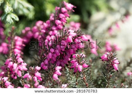 Beautiful flowers Myretoun Ruby. Erica carnea, macro photo - stock photo