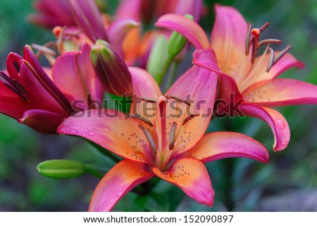 beautiful flowers of a lily dismissed and still green buds - stock photo